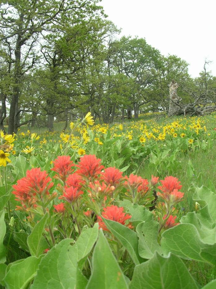 Most of us don't enven know our own world! Indian Paintbrush in Spring- Near Klickitat,WA