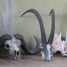 Cape Buffalo and Sable Antelope Skulls - Chobe