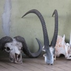 Cape Buffalo and Sable Antelope Skulls - Chobe