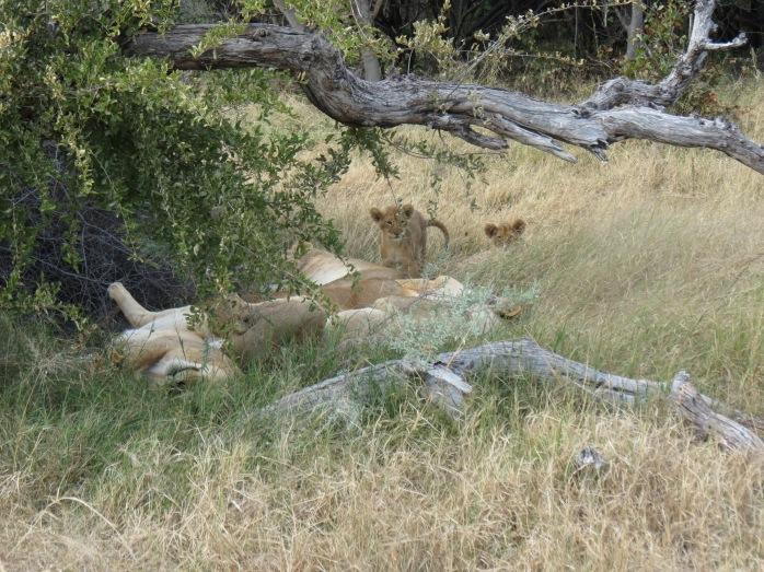 3 cubs 4 mamas - Moremi Game Preserve